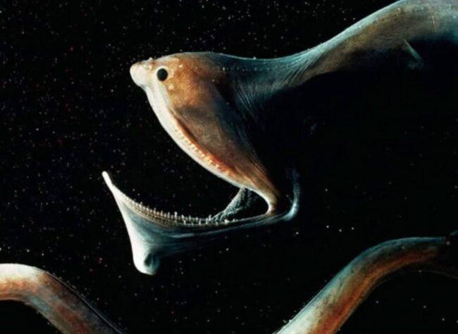 внешний вид рыбы-пеликан