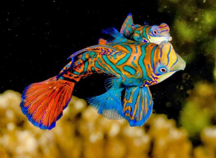 внешний вид рыбы мандаринки