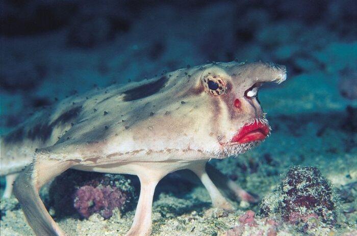Рыба-нетопырь умеет ходить по дну