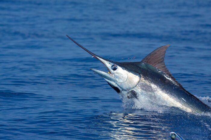 Меч-рыба является диковиной Черного моря