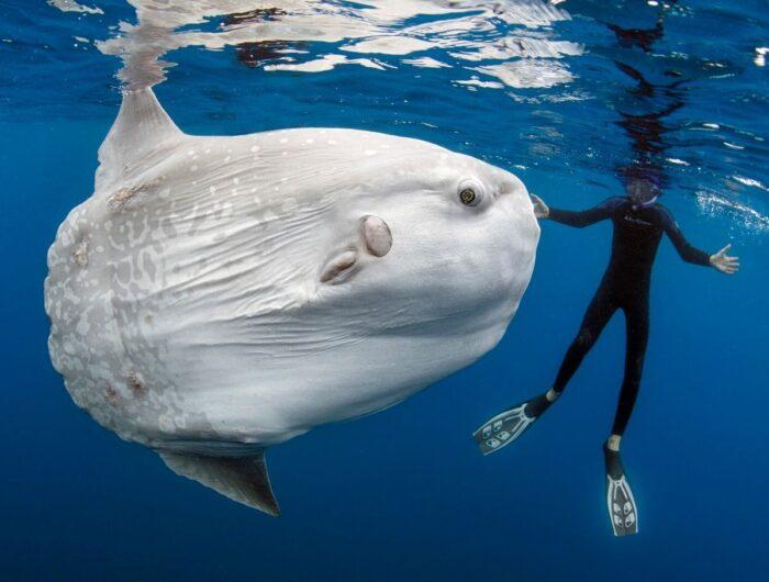 огромная рыба луна