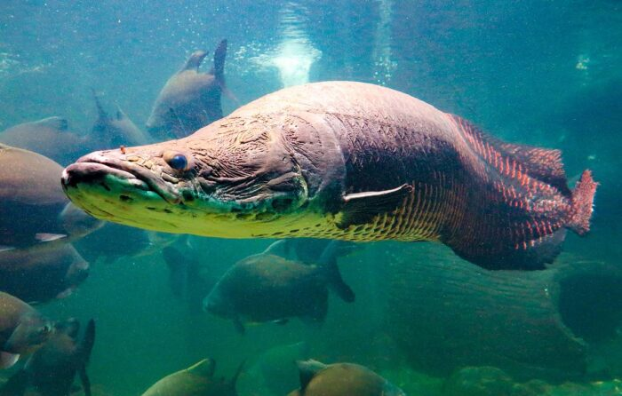 арапайма встречается в океанариумах