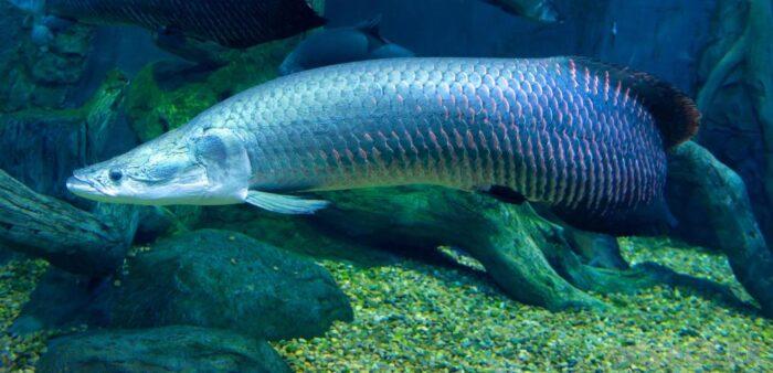 как выглядит рыба арапайма из реки Амазонка