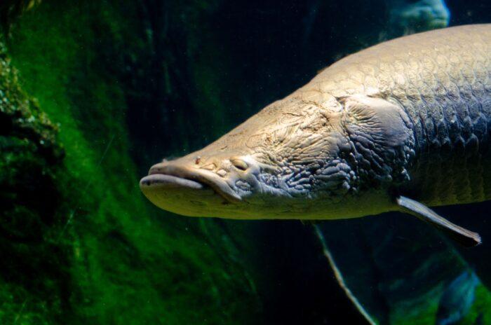 гигантская рыба арапайма