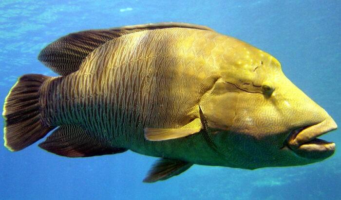 губан или рыба Наполеон имеет большие размеры
