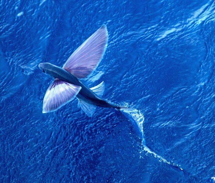 как выглядит летучая рыба