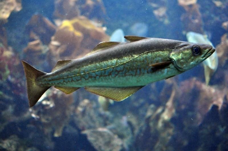 морская рыба минтай
