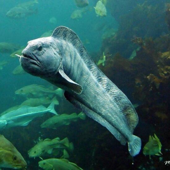 мурена под водой