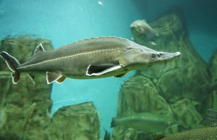 численность осетровых рыб постепенно снижается