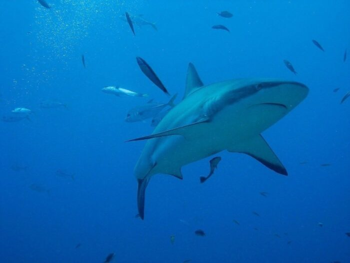 акула в воде с другими рыбами