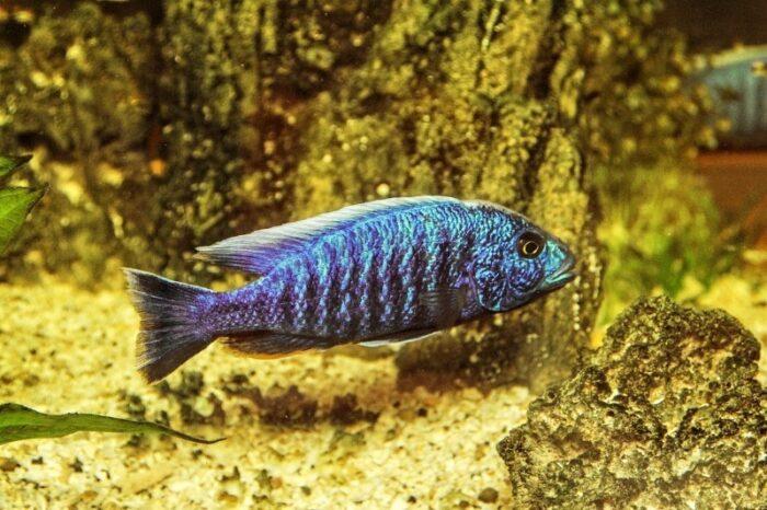 как ухаживать за речной рыбой в аквариуме