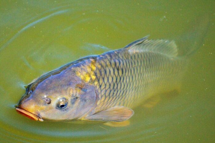 желанным уловом для всех рыболовов является карп