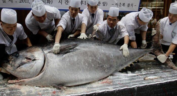 тунец рекордного размера
