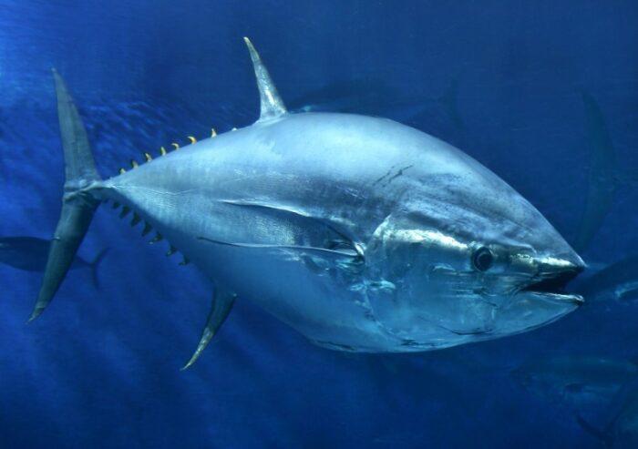 голубой тунец может быть опасен из-за повышенного содержания ртути
