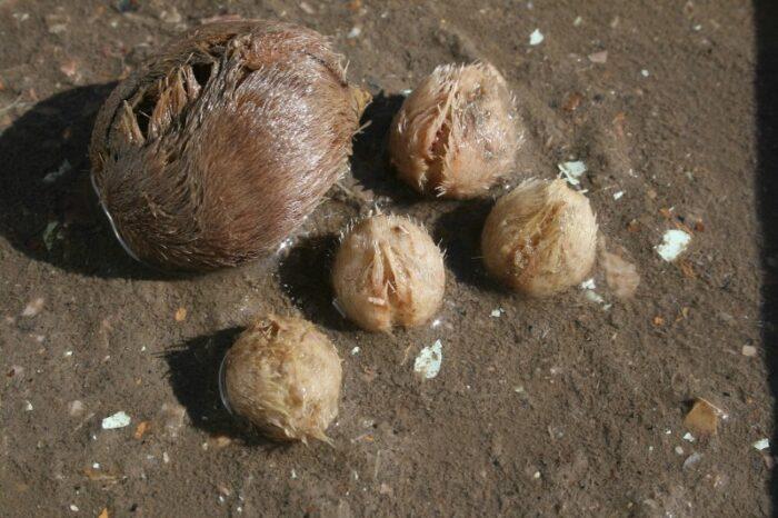 морской картофель