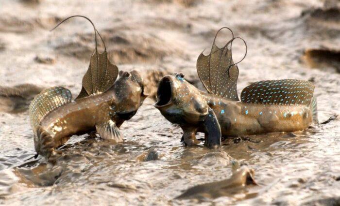 рыба анабас может ползать по дереву