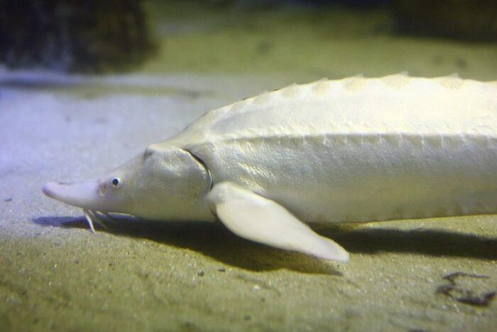 редкая белуга альбинос