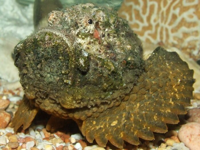 ядовитая рыба бородавчатка похожа на камень