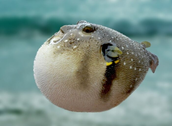 ядовитая рыба фугу