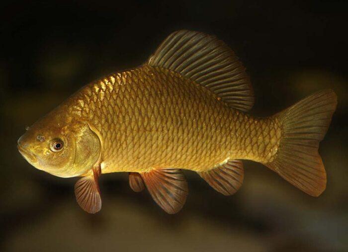 Рыба или украшение - серебряный и золотой карась