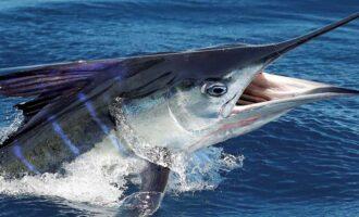 внешний вид рыбы меч