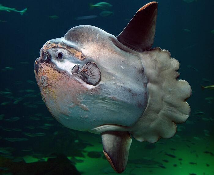 рыба луна и особенности ее строения