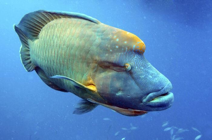 рыба губан может сменить пол