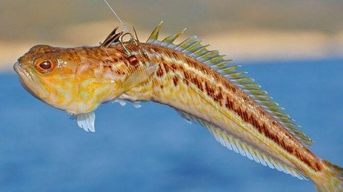 внешние морской дракон похож на бычка
