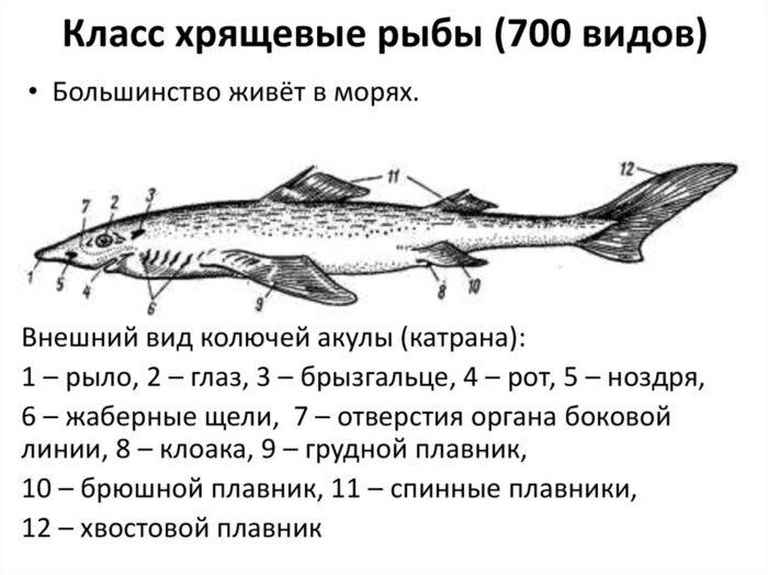 разнообразный класс хрящевых рыб