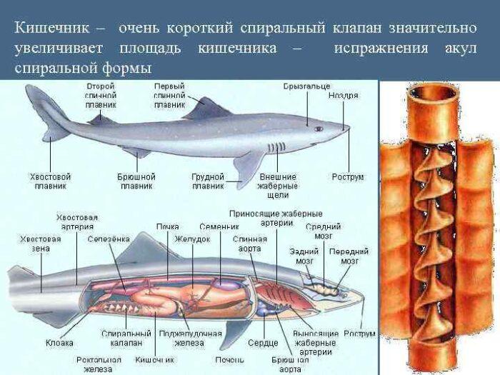 особенности строения кишечника акулы