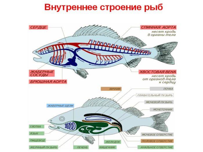 особенности внутреннего строения рыб
