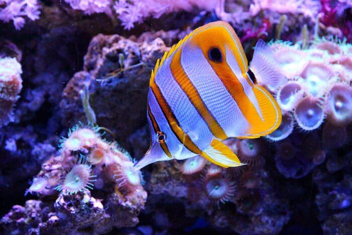 рыба-бабочка (батерфляй)