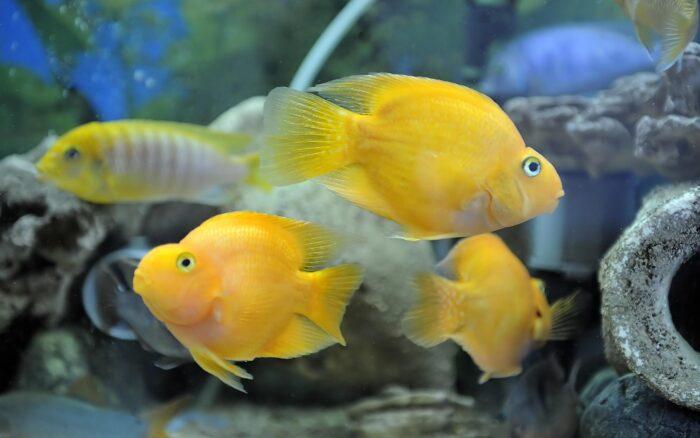 рыба попугайчик является гибридом