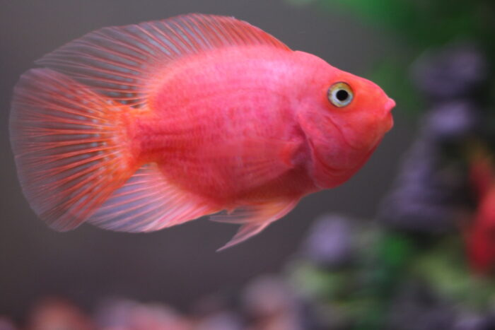 самец рыбы попугайчик