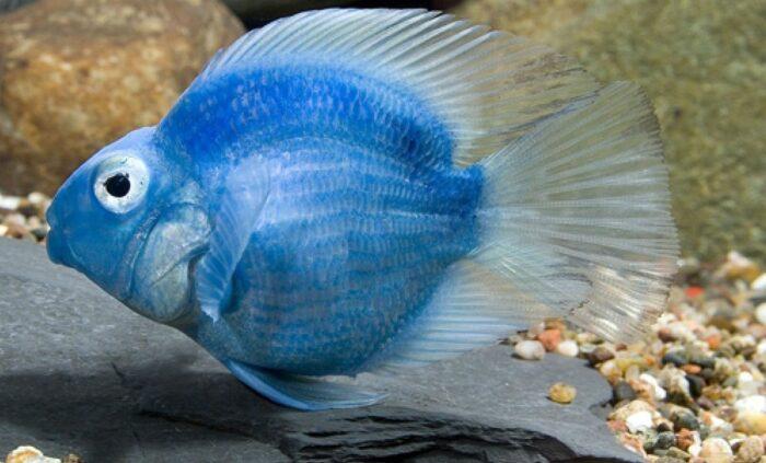 голубых рыб попугайчиков не существует
