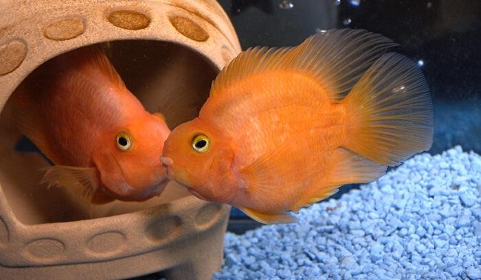 особенности строения и окраса рыбы попугайчик