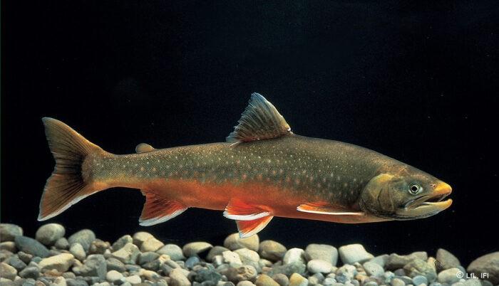 крупный атлантический лосось