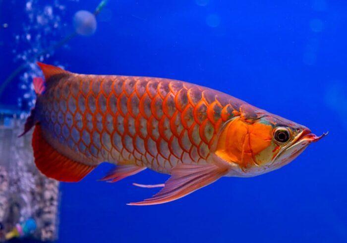 внешний вид рыбы арована
