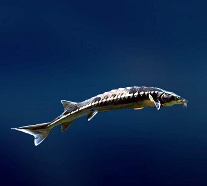 рыба шип из семейства осетровых