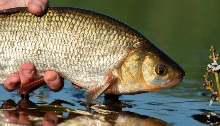 полезные свойства рыбы язь