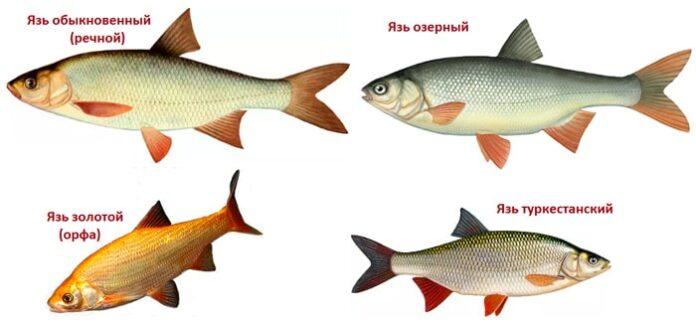 разновидности рыбы язь
