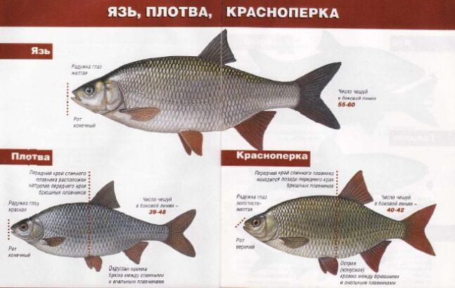 внешний вид разных рыб одного семейства