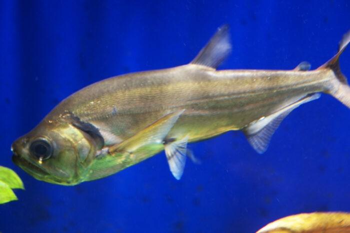 рыба лимонелла популярна в кулинарии