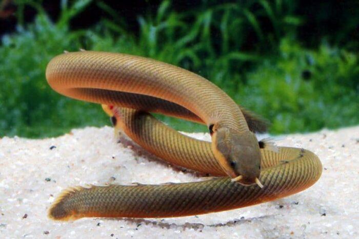 Каламоихт Калабарский похож на змею