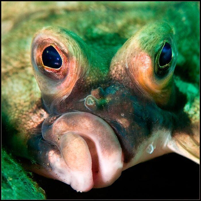 рыба телескоп с огромными глазами в разные стороны