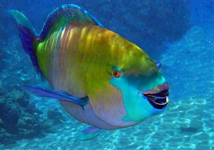 Рыба-попугай и особенности ее вида
