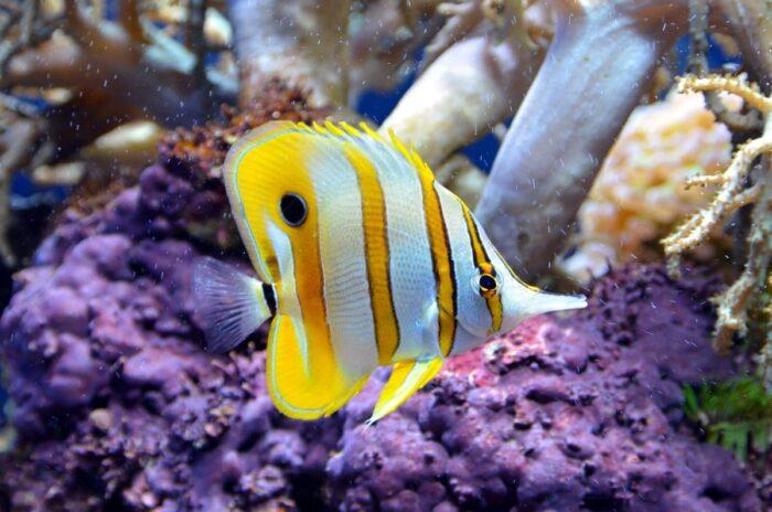 Рыба-бабочка плавает в естественной среде