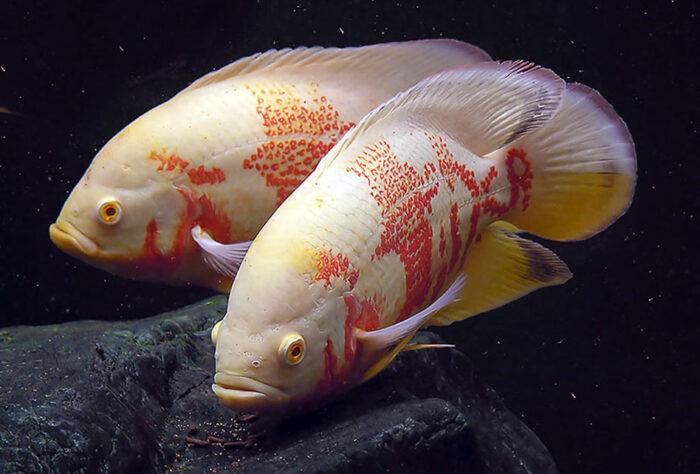 астронотуса–селекционный альбинос.