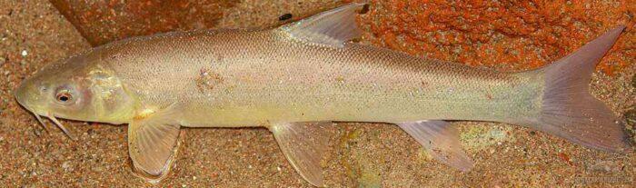 узбекская рыба маринка