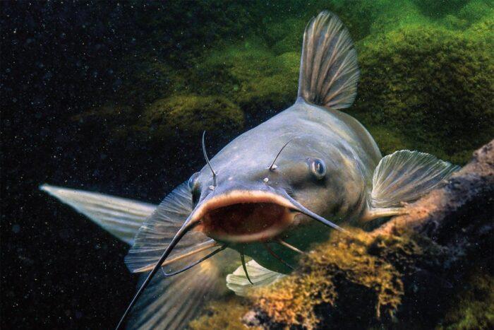 сом является крупной пресноводной рыбой